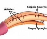 penis-anatomy.57205631_large